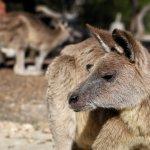 Up close with kangaroos