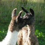 Golden Valley Llamas Resmi