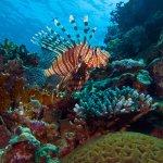 Rotfeuerfisch am SUBEX Hausriff in El Quseir