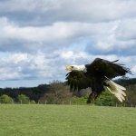 Irina - the female Alaskan Bald Eagle.