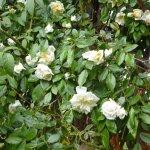 Roses grimpantes anciennes