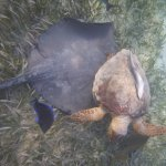 Ray fighting sea turtle over dead Caribbean lobster