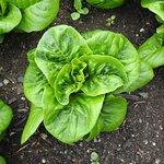 in the garden - spinach