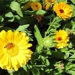 in the garden - calendula