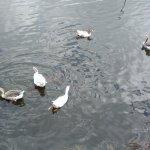 Lago de 54000m² com tartarugas, peixes, muitas aves