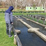 Getting read to feed the trout at the Sandwich Hatchery.