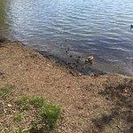 Mom w/baby ducks