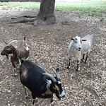 Love the goats and chickens that live at the Inn.