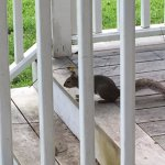 Friendly squirrel chatting on the back porch