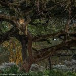 wildlife climbing trees in kenya the home of safaris