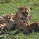lions and its cubs playing