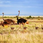 ostrich family in the game parks on kenya