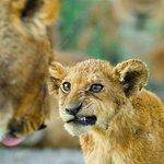 lion cubs expression