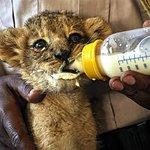 rescued lion cub being fed