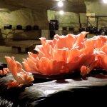 Culture de polypore à Saumur