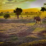 A lone bull elephant heading to the water hole at dusk. View from the dining area.