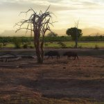 Buffaloes heading to the water hole at dusk