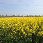 Rape seed field nearby.