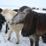 More icelandic horses