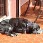 Foster dog, Clyde, relaxing in the sun