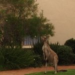 Kangaroo in the back of the property