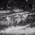 Début du nourrissage des loups