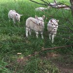 Lambs on the working farm
