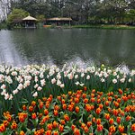 Tulips in the park (4)
