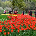 Tulips in the park (6)