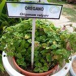 Oregano at the herbs farm