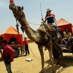 Camels and canal safari is one of the attractions of Pushkar visit.