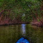 Paddleing into a mangrove tunnel.