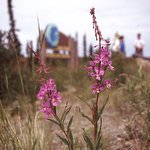 Fireweed is a common colorful sight along the Dalton Highway.