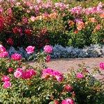 Roses at full bloom in mid-summer.