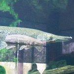river sturgeon in the aquarium