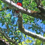 Quetzal on the Roble Trail