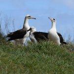 albatross (not taken on tour) Guide told me where to go
