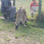 Getting to say hello to the cheetah at a safe distance