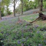 Wild garlic gidden among the bluebells