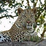 #leopardsofthesabisands #inyatisafari