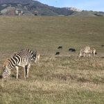 Zebras near Her Castle