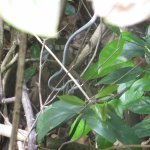 That's a snake blending it with the foliage --- our guide spotted it