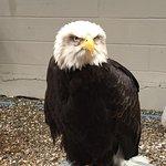 Alaska the Bald Eagle