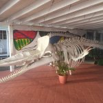 A baby Sperm whale skeleton