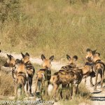 Cape Hunting Dogs ('painted wolves')