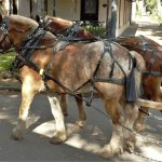Carriage ride horses