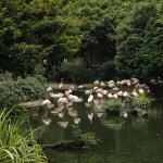 Flamingos in pond aviary.