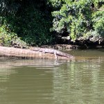 A freshwater crocodile catching some morning sun