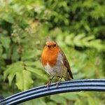 Friendly robin