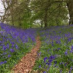 "Magnificent bluebells May 3/17 at the Iron Age Fort ""Coed y Bwnydd"""